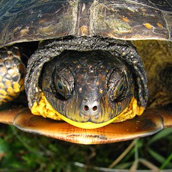 Blandings Turtle_350px