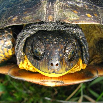 Terry Fox Drive Extension (Blanding's Turtle)